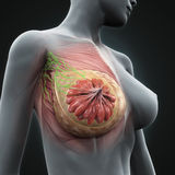 Vrouwelijke Borstanatomie Royalty-vrije Stock Foto's