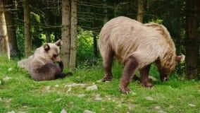 Vrouwelijke bruin draagt met een kleine welp Het rusten op het gazon voor het bos Wilde leven Het wilde leven stock videobeelden