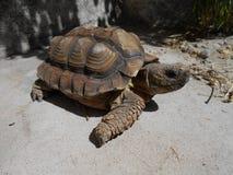 Vrouwelijke bruine schildpad Royalty-vrije Stock Foto