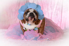Vrouwelijke buldog Royalty-vrije Stock Foto