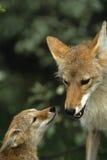 Vrouwelijke Coyote met jong Royalty-vrije Stock Foto's