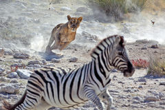 Vrouwelijke de jachtzebra van de leeuw Royalty-vrije Stock Foto