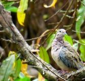 Vrouwelijke duif dichte omhooggaand Voorgrond van een grijze duif Royalty-vrije Stock Foto's