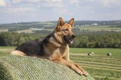 Vrouwelijke Duitse herder Royalty-vrije Stock Afbeeldingen