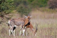 Vrouwelijke en mannelijke Blesbok Royalty-vrije Stock Foto