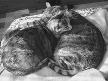 Vrouwelijke en Mannelijke kat | Gestreepte katnoteringen | zwart-wit royalty-vrije stock fotografie