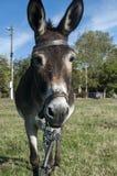Vrouwelijke ezelsclose-up Royalty-vrije Stock Afbeeldingen