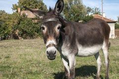 Vrouwelijke ezelsclose-up Royalty-vrije Stock Fotografie