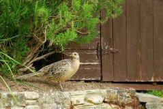 Vrouwelijke fazant Royalty-vrije Stock Foto's