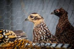 Vrouwelijke fazanten Stock Afbeelding