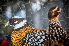 Vrouwelijke fazanten Royalty-vrije Stock Afbeelding
