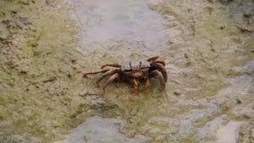 Vrouwelijke fiddlerkrab die zand op mudflats van een strand eten, krab het voeden gedrag, tropische schaaldierspecie stock footage