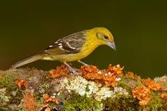 Vrouwelijke Gele vogel vlam-Gekleurde Tanager, Piranga-bidentata, Savegre, Costa Rica Vogelzitting in de donkere bosvogelobservat Stock Afbeeldingen