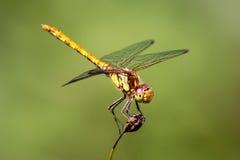 Vrouwelijke gemeenschappelijke darterlibel die omhoog eruit zien Royalty-vrije Stock Foto's