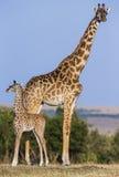 Vrouwelijke giraf met een baby in de savanne kenia tanzania 5 maart 2009 Stock Afbeeldingen