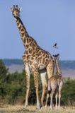 Vrouwelijke giraf met een baby in de savanne kenia tanzania 5 maart 2009 Royalty-vrije Stock Afbeeldingen