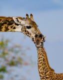Vrouwelijke giraf met een baby in de savanne kenia tanzania 5 maart 2009 Stock Afbeelding