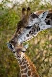 Vrouwelijke giraf met een baby in de savanne kenia tanzania 5 maart 2009 Stock Foto's