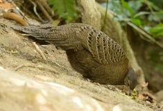 Vrouwelijke grijze pauw-fazant Stock Fotografie