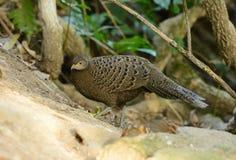 Vrouwelijke grijze pauw-fazant Royalty-vrije Stock Afbeeldingen