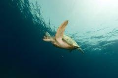 Vrouwelijke groene schildpad in het Rode Overzees stock fotografie