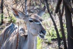 Vrouwelijke grotere kudu met veel meer woorden royalty-vrije stock afbeeldingen