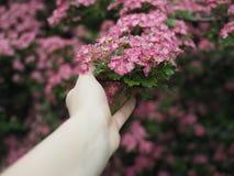 Vrouwelijke hand die een tak van een mooie boom houden Royalty-vrije Stock Foto