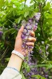 Vrouwelijke hand die groene installatie met purpere bloemen houden Stock Fotografie