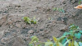 Vrouwelijke hand die jonge spruiten van tomaat in grond in de tuin planten stock videobeelden