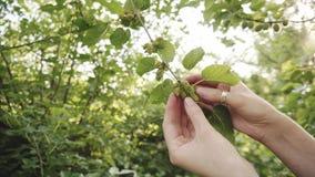Vrouwelijke hand die onrijpe moerbeiboomvruchten controleren op een boomtak stock video
