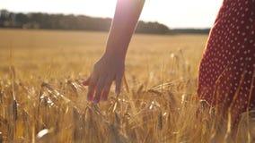 Vrouwelijke hand die rijpe tarwe overneemt en op de weide groeit met zonlicht op de achtergrond Jonge vrouw die door de stock video