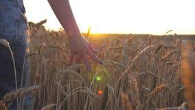 Vrouwelijke hand die zich over het rijpe tarwe groeien op de weide bewegen Jong meisje die door het graangewas gebied en het stri stock video