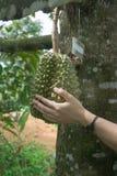 Vrouwelijke handaanraking Durians Stock Foto's