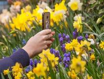 Vrouwelijke handen die een smartphone houden Het schieten van bloem van gele gele narcis op bloemenachtergrond stock afbeelding