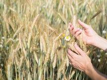 Vrouwelijke handen die tarweaartjes op gebied op zonnige dag houden, nieuw gewas royalty-vrije stock foto's