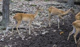 Vrouwelijke herten in de dierentuin Stock Afbeeldingen