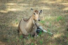 Vrouwelijke herten die op het gras leggen royalty-vrije stock fotografie