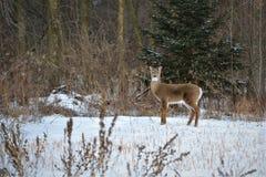 Vrouwelijke herten die op sneeuwgebied voor bos letten op Stock Foto's