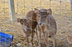 Vrouwelijke herten en jonge herten in kooi Stock Afbeeldingen