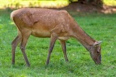 Vrouwelijke herten in het Nationale Park in BiaÅ 'owieÅ ¼ a royalty-vrije stock fotografie