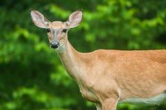 Vrouwelijke herten met bos achter haar Stock Foto