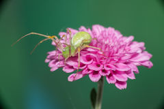 Vrouwelijke het springen spin Stock Afbeeldingen