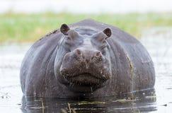 Vrouwelijke Hippo, Chobe, Rivier, Botswana Royalty-vrije Stock Foto's