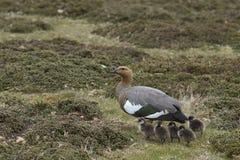 Vrouwelijke Hooglandgans en gansjes - Falkland Islands Royalty-vrije Stock Afbeeldingen