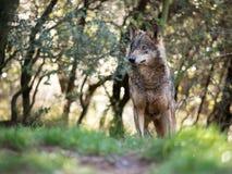 Vrouwelijke Iberische de wolfszweersignatus van wolfscanis in een aardig bos stock fotografie