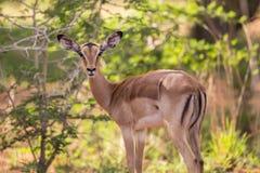 Vrouwelijke impala Stock Foto's