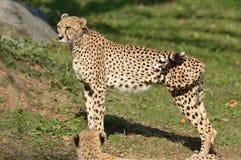 Vrouwelijke Jachtluipaard Royalty-vrije Stock Foto's