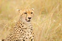 Vrouwelijke Jachtluipaard stock foto's