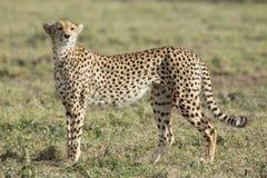Vrouwelijke Jachtluipaard (jubatus Acinonyx) in Tanzania Stock Afbeeldingen