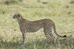 Vrouwelijke Jachtluipaard (jubatus Acinonyx) in Tanzania Royalty-vrije Stock Foto's